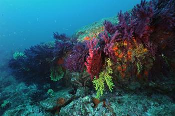 Mediterranean Gorgonians (CNRS)