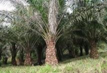 Huile de palme : quand le sénat entend responsabiliser l'industrie agroalimentaire