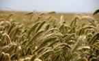 Plaidoyer pour les OGM « bienfaiteurs de l'environnement »