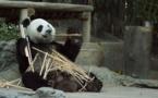 Comment l'homme a sauvé le panda de l'extinction