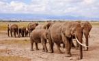 Le braconnage est largement responsable du déclin des Eléphants