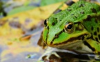 Lac Titicaca : des grenouilles victimes de la pollution ?
