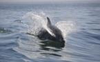 """Un dauphin scarifié et éviscéré sur une plage bretonne, l'association Al-Lark exprime son """"dégoût"""""""