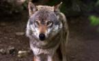 Les loups, une population en danger ? Des scientifiques alertent