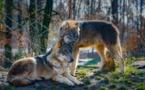 Le loup, une espèce en danger pour plusieurs associations