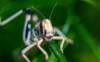 Le criquet pèlerin, un insecte ravageur à surveiller