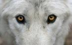 L'hybridation du loup en France, un phénomène limité