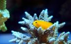 Environnement : les anémones blanchissent, les poissons en pâtissent