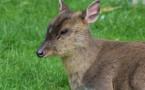 Val-de-Loire : le cerf muntjac, un cervidé exotique qui cherche à s'implanter