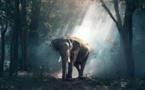 La Chine s'engage à fermer son marché domestique légal d'ivoire