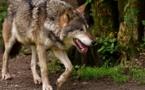 La préservation des loups au programme de cette année 2018