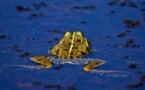 L'ONF aide les grenouilles à traverser la route !