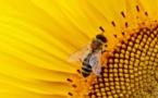 Les néonicotinoïdes seraient bien néfastes pour les abeilles