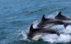 Massacre de dauphins sur les côtes françaises