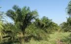 Environnement : le Cirad cherche la recette pour une huile de palme durable