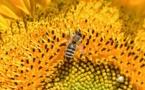 Abeilles : des fermes solaires pour les sauver
