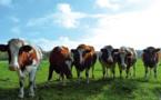 Normandie : alerte sur des cas de tuberculose bovine