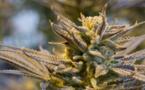 L'Agence du médicament favorable au cannabis thérapeutique