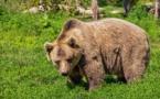 Une quarantaine d'ours comptabilisés dans les Pyrénées