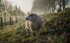 Des moutons pour entretenir la nature à Strasbourg