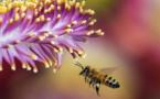 La FAO exhorte les pays à en faire plus pour protéger les abeilles