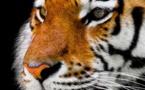 Inde : la population des tigres sauvages en hausse de 30% en 4 ans