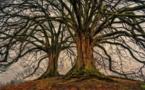 Pays-de-la-Loire : pour une naissance, un arbre planté