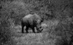 Le rhinocéros noir d'Afrique moins menacé qu'avant
