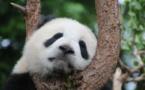 En sauvant le panda, la Chine a oublié les autres espèces
