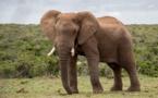 Contrebande d'ivoire : un guide pour faciliter l'identification des origines frauduleuses