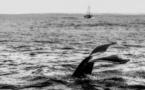 Mystères autour des morts de baleines grises
