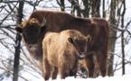 L'UICN remporte une victoire pour la sauvegarde du bison d'Europe