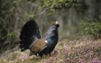 Grand Tétras : la France patine en matière de conservation