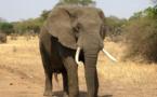 L'IUCN élève son niveau d'alerte concernant les éléphants d'Afrique