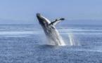Réapparition de « bonne augure » des baleines bleues