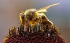 Les abeilles, un maillon essentiel de l'industrie agroalimentaire