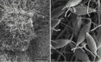 Des étudiants américains découvrent un champignon mangeur de plastique