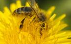 Des scientifiques s'inquiètent de la disparition des abeilles
