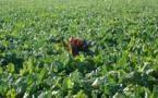 OGM, les Etats libres d'interdire ou d'autoriser les cultures