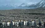 Fonte des glaces, un tiers des manchots empereurs d'Antarctique en danger