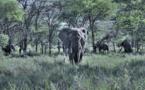 Lettre à Ségolène Royal contre la commercialisation de l'ivoire en France