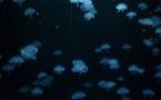 Pollution de l'eau, les méduses à la rescousse des océans
