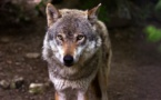 Des associations se mobilisent contre l'abattage de 36 loups