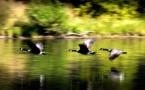 Ouverture de la chasse : des oiseaux protégés menacés