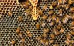 Les abeilles en danger face à l'utilisation de trois pesticides