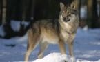 Le loup, une espèce en voie de déclassement
