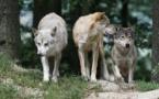 Abattage de loups : le préfet de Savoie critiqué par les associations de défense des animaux