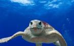 Sacs plastiques : les tortues marines menacées