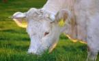 Un élevage bovin éco-responsable