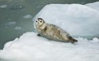 Un film choc pour défendre phoques du Groenland